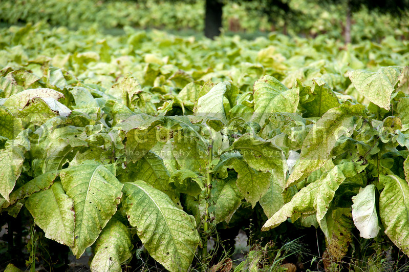 Partly harvested tobacco plants on a farm field.