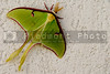 A large Luna Moth ready to lay eggs