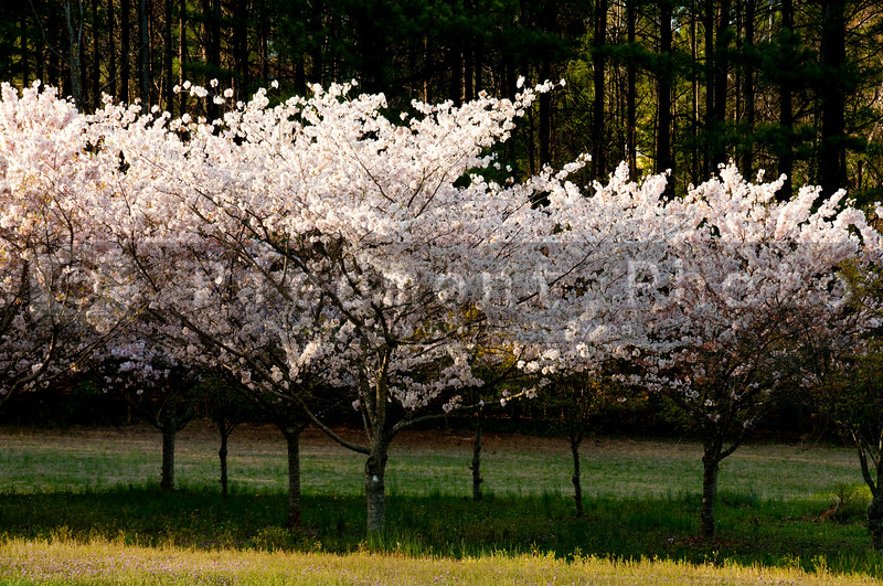 Springtime Japanese chery trees blossoming in the afternoon sun