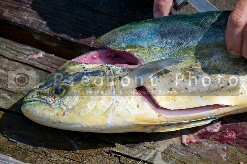 A dolphinfish also known as a Mahi Mahi as it is being fileted by a commercial fisherman