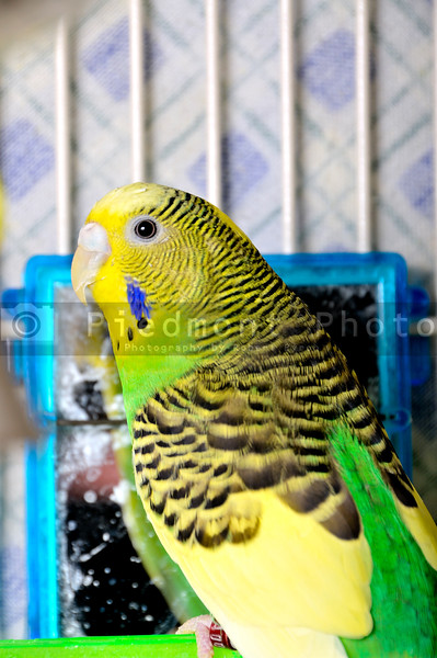 A very colorful and exotic tropical parakeet.