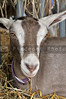 A close-up image of an inquisitive goat