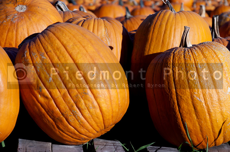A bunch of plump and juicy holliday pumpkins.