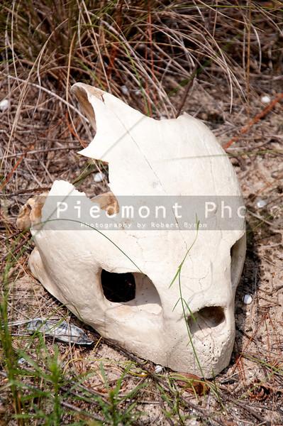 The skull of a deceased sea turtle