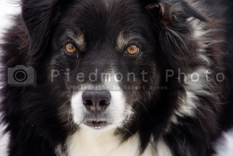 A close-up image of a full blooded Border Collie