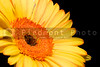 A brightly collored springtime Yellow Gerbera Daisy
