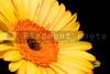 A brightly collored springtime Yellow Gerbera Daisy