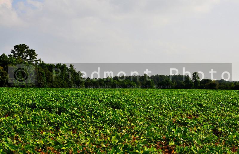A rural farm lush sprawling soybean field