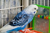 A small colorful and exotic tropical parakeet.