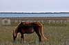 A Wild Horse at Shackleford Banks of North Carolina