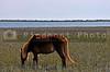 A Wild Horse at Shackleford Banks of North Carolina