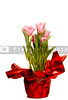 Beautiful colorful and exotic freshly grown tulip flowers