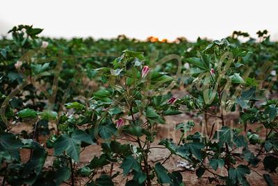 SPC18_CottonBlooms-2150