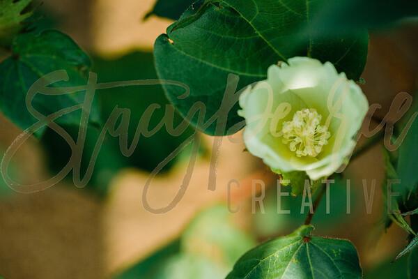 SPC18_CottonBlooms-1765