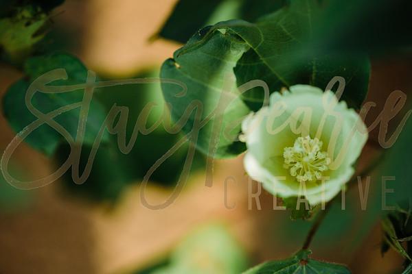 SPC18_CottonBlooms-1762