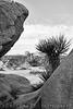 Black and white study, Joshua Tree National Park, California, USA