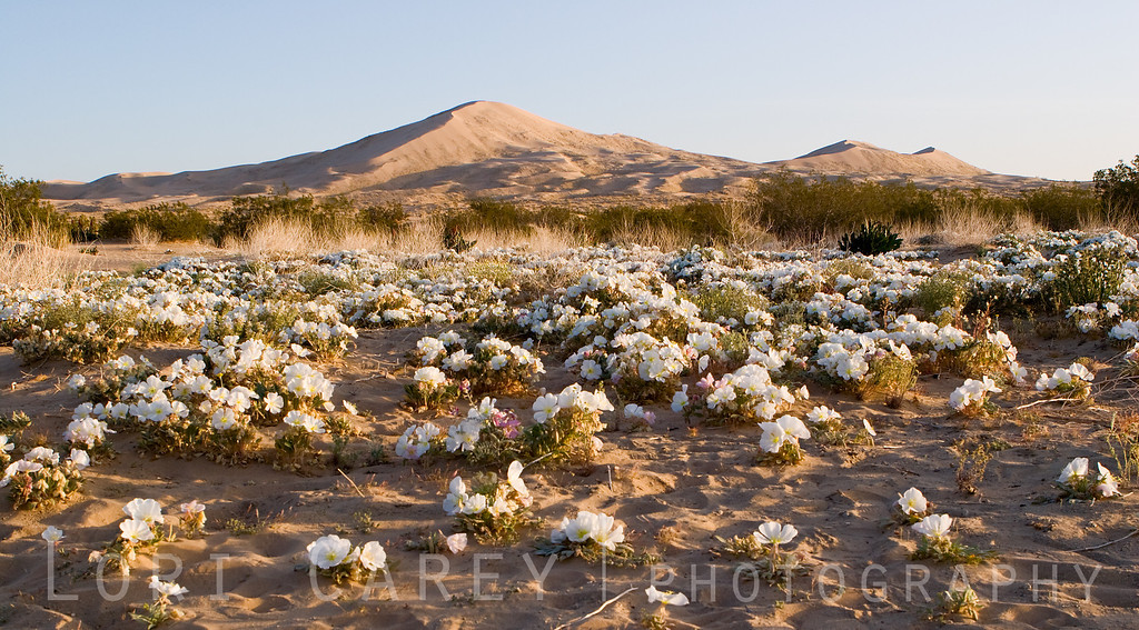 Dune Evening Primrose at the Kelso Dunes in the Mojave Desert. Too bad there were footprints EVERYWHERE.