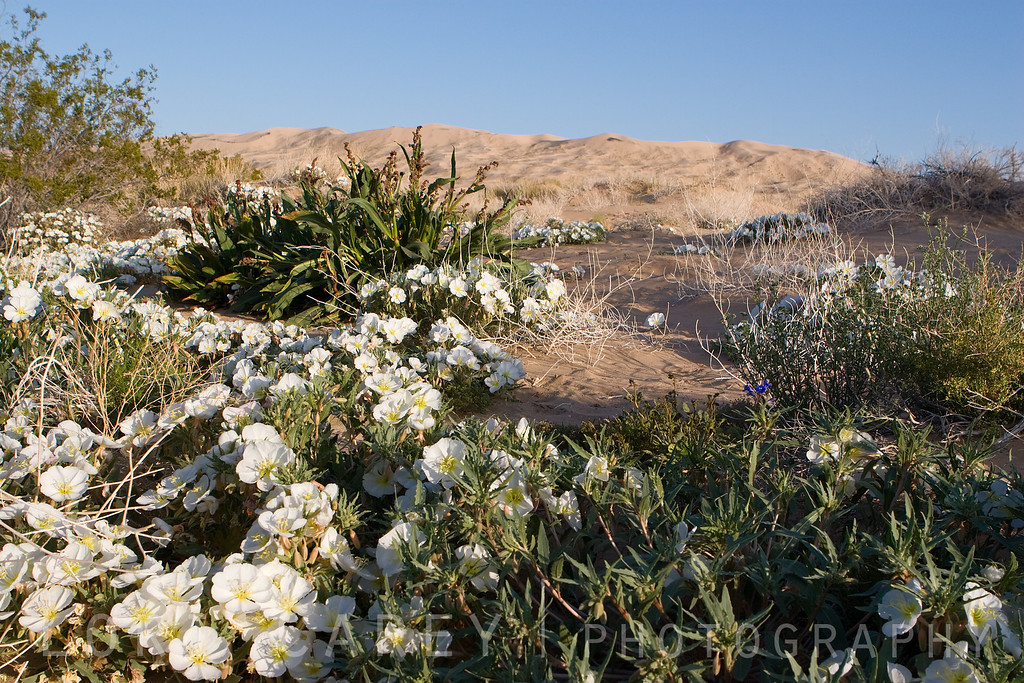 Dune Evening Primrose at the Kelso Dunes in the Mojave National Preserve. This plant is pollinated by the long-tongued, White-lined Sphynx Moth (Hyles lineata).