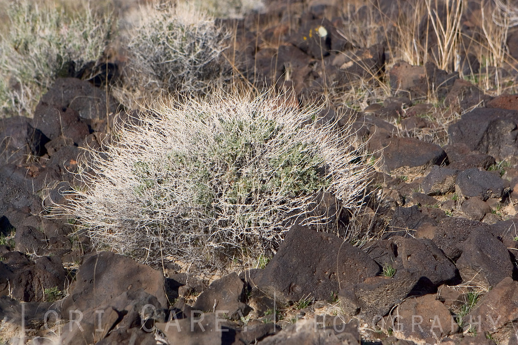 Desert plant life in Cinder Cones and Lava Flows National Natural Landmark, Mojave National Preserve