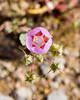 Desert Five Spot (Eremalche rotundifolium, formerly Malvastrum rotundifolium) in the Mojave desert