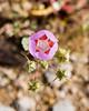Desert Five Spot (Eremalche rotundifolium, formerly Malvastrum rotundifolium) in the Mojave desert