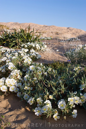 Dune Evening Primrose at the Kelso Dunes in the Mojave National Preserve.