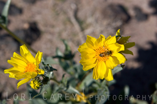 Early wildflowers blooming in January at Amboy Crater in the Mojave Desert National Preserve. Desert Sunflowers, a.k.a. Desert Gold, and a pollinating friend.