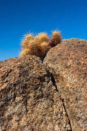 A cactus garden in the rocks, Turtle Mountains, east Mojave Desert.