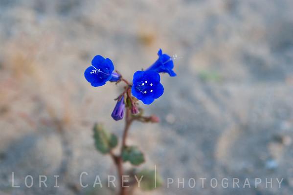 Phacelia campanularia; California Bluebells, desert bluebells, desert Canterbury bells