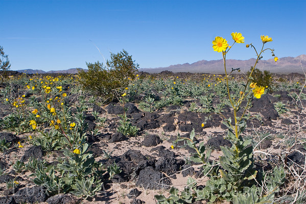 An early wildflower show in January at Amboy Crater in the Mojave National Preserve. Desert sunflowers, a.k.a. Desert Gold.