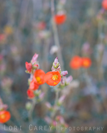 Apricot Mallow, also known as Desert Mallow and Desert Globemallow