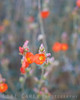 Apricot Mallow, also known as Desert Mallow and Desert Globemallow