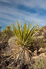 Mojave Yucca growing on the lava bed in Cinder Cones and Lava Flows National Natural Landmark, Mojave National Preserve