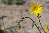 We were surprised to find wildflowers blooming at Amboy Crater in January. Desert sunflower, a.k.a. Desert Gold