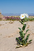A silver prickle poppy near Soda Dry Lake. Although the plant is highly toxic, it is known to have been used in folk medicine such as eye drops, purgatives and antiseptics. Many deaths were caused by misuse.
