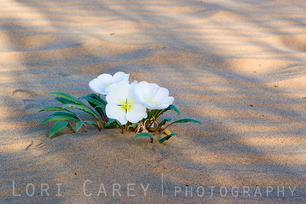 Dune Evening Primrose (Oenothera deltoids) at Kelso Dunes in the Mojave desert.