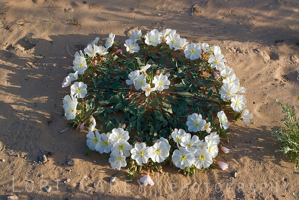 I haven't found anything yet that explains why Dune Evening Primrose frequently grows in a circle like this.