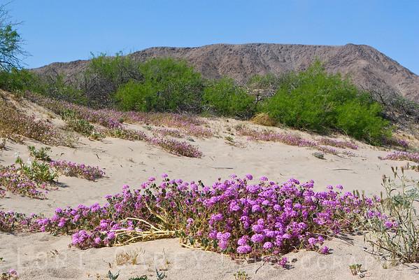 Sand verbena along Mojave Road between Afton Canyon and Soda Dry Lake