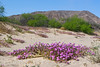 Sand verbena along Mojave Road between Afton Canyon and Soda Dry Lake