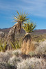 Mojave Yucca growing in Cinder Cones and Lava Flows National Natural Landmark, Mojave National Preserve