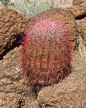 Barrel cactus with lots of new red growth. Turtle Mountains, east Mojave Desert.
