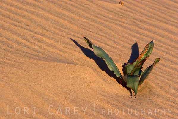 Plant life at Kelso Dunes in Mojave National Preserve