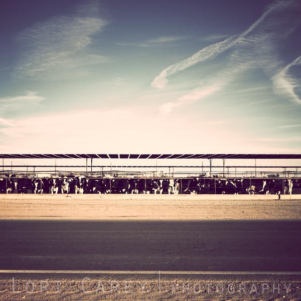 Cows in Brawley, California