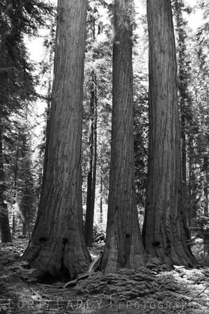Another view of the three named trees whose name I can't recall.
