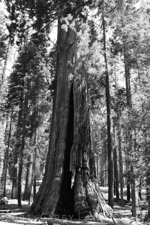 unnamed tree, Sequoia National Park
