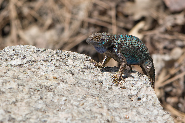 Western Fence Lizard...not sure which subspecies.