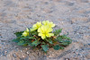 A yellow evening primrose At Kelso Dunes in the Mojave Desert, not sure which one