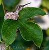 Nesting Anna's hummingbird. <br /> <br /> San Juan Capistrano, CA<br /> 2005