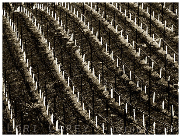 """Simplicity is the glory of expression"" - Walt Whitman<br /> <br /> Vineyard in winter<br /> Temecula, CA<br /> 2005"