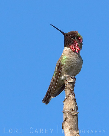 The ruler of the feeder, high upon his throne. Anna's hummingbird catching the sunlight.<br /> <br /> San Juan Capistrano, CA